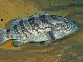 Cá Mú Cửa Lò